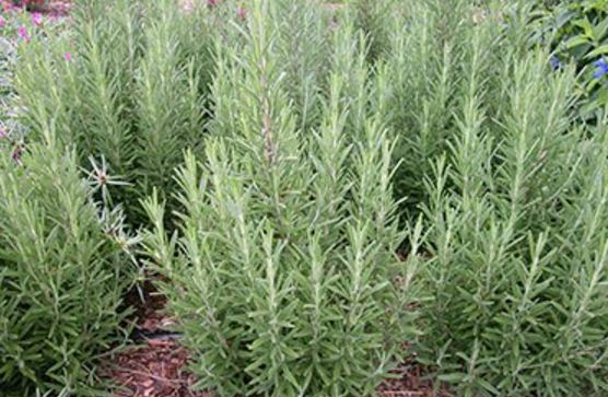What is Rosemary in Hindi with benefits
