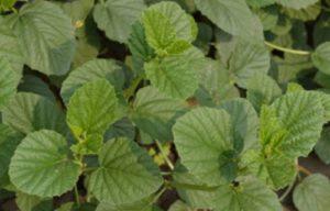 Psoralea corylifolia in Hindi